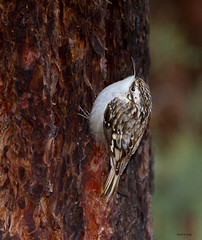 Brown Creeper (markvcr) Tags: freedomtosoarlevel1birdphotosonly