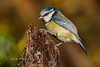Blue Tit (Nigel Dell) Tags: autumn birds flickr seasons wildlife places hampshire fleet bluetit fsg avianexcellence ngdphotos