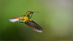 Golden-Crowned Emerald Hummingbird (Raymond J Barlow) Tags: travel costarica hummingbird wildlife ngc adventure avian birdinflight 200400vr nikond300 raymondbarlowtours