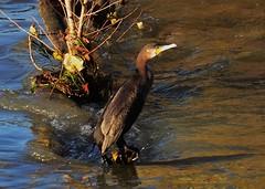 Grand cormoran (phalacrocorax carbo) (pablo 2011) Tags: birds nikon ngc oiseaux cormoran phalacrocoraxcarbo collectionnerlevivantautrement