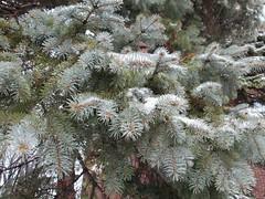 Mon beau sapin close up (chanelchat Rachel) Tags: winter snow closeup canon season hiver christmastree panoramafotografico natureandpeopleinnature chanelchat