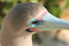 Red-footed Booby (Sula sula) (ferruge) Tags: redfootedbooby sulasula