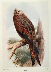 n483_w1150 (BioDivLibrary) Tags: greatbritain kite birds eggs americanmuseumofnaturalhistorylibrary 598242 bhl:page=7583458 dc:identifier=httpbiodiversitylibraryorgpage7583458