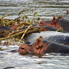 A school of hippos