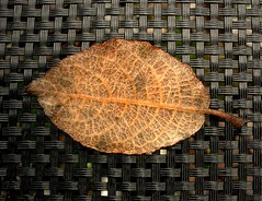 withered (Stiller Beobachter) Tags: macro leaf withered blatt welk