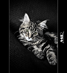 Huffie (Marceau R) Tags: black france digital cat canon noir photographie ef5018 eos7d animalchat