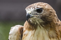 Red-Tailed Hawk 12 (cypher40k Photography) Tags: color colour nikon redtailedhawk junglecatworld zoo
