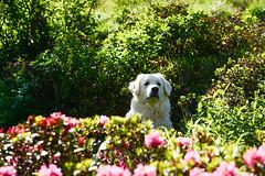 It's too hot. Summer isn't his favorite season. (balu51) Tags: wanderung berge alpenrosen hund kuvasz ungarischerhirtenhund zuwarm schattensuchen sommer hiking dog shrubs flower pink green white summer hightemperatures graubnden surselva juni 2016 copyrightbybalu51