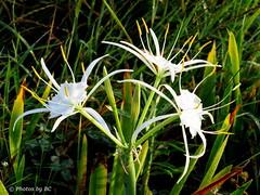 Spider Lilies. (Explored) (~~BC's~~Photographs~~) Tags: bcsphotographs canonsx50 spiderlilies aroundthefarm wildflowers closeups kentuckyphotos summer naturephotos ourworldinphotosgroup earthwindandfiregroup explorekentucky explored7272016318