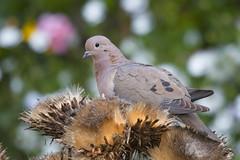 Trtola (ik_kil) Tags: trtola eareddove zenaida zenaidaauriculata dove santiago torcaza reginmetropolitana avesdechile birds chile