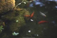- (Immacolata Melillo Photography) Tags: santagata de goti benev benevento italy italia garden water fishes fish red nature animals fountain