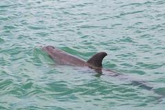 072016Vacation_8575 (WindJammer Photo) Tags: july 2016 canon 2470mml 60d florida family vacation water ocean sand beach gulf gulfcoast dolphin animal