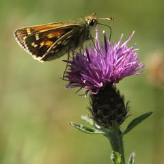 Silver Spotted Skipper (likrwy) Tags: silverspotted skipper butterfly nature hesperia comma queendown warren thistle