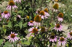 Echinacea angustifolia (jmpr2) Tags: eqhinacea echinacea coneflower