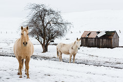 The Waiting Game (John Westrock) Tags: canoneos5dmarkiii pacificnorthwest winter horses farm tree snow canonef2470mmf28lusm washington rural