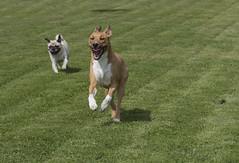 da kann ich ja  nur lachen.... (Henry der Mops) Tags: 90a2326 fun hund dog mplez henrydermops canoneos7dmarkii canonef70200mmf4lisusm hundeplatz rennen laufen run fit spas lachen running