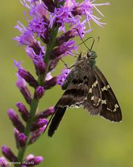 Long-tailed Skipper, Urbanus proteus (stephaniepluscht) Tags: alabama 2016 butterfly butterflies graham creek nature preserve blazing star long tailed skipper longtailed urbanus proteus