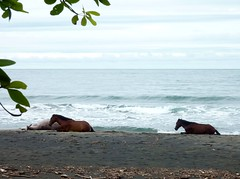 Horses lounging along Caribbean (ashabot) Tags: costarica centralamerica centroamerica tropics villagelife caribbean caribe horses horse