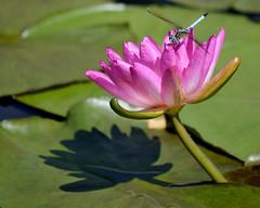 lilypond1b (c.denisebacher) Tags: dragonflies lilypond sanangelo texas shadow