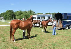 2016-08-28 (7) Miss Nicole arrives at 'horse show' (JLeeFleenor) Tags: photos photography md maryland horseshow gambrills horses thoroughbreds equine equestrian cheval cavalo cavallo cavall caballo pferd paard perd hevonen hest hestur cal kon konj beygir capall ceffyl cuddy yarraman faras alogo soos kuda uma pfeerd koin    hst     ko  trainers equinedentaltechnician