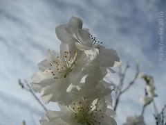 Plum blossom: close up (1 of 2) (Su_G) Tags: sug 2016 blossom plumblossom appleblossom almondblossom whiteblossom flowers white nature