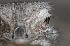Greater rhea (Rhea americana) (pavel conka) Tags: nandu pampov rhea americana greater bird eye makro macro canon pavel conka czech animal