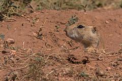 Prairie Dog (Stephen J Pollard (Loud Music Lover of Nature)) Tags: perritollanerocolanegra perrodemadriguera prairiedog blacktailedprairiedog mammal mamfero wildlife fauna cynomysludovicianus