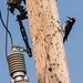 Acorn Woodpecker on a Telephone Pole