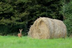 Faon chevreuil... (fabrice.jandin) Tags: mammifres cervids chevreuil faon fort prairie et ambiances