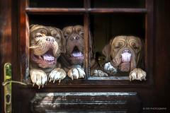 (stef.gerard.7) Tags: dog doguedebordeaux animal