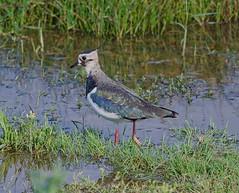 Lapwing (John Assheton) Tags: bird wader lapwing nwt cleymarshes norfolk