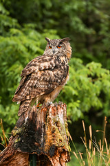 The Great Eurasian African Owl (maxinneball) Tags: owl eurasion african raptor canadian ngc