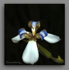FLOR DE UN DA. (manxelalvarez) Tags: iris neomricacndida flordeunda irisdocamiante florestropicales flores flora