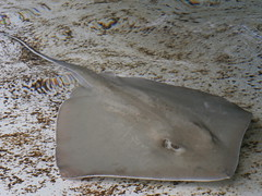 Stingray (DSL in Jax) Tags: lowryparkzoo tampa fl aquaticlife stingray