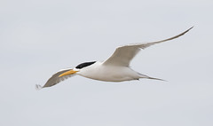 Crested Tern (christinaportphotography) Tags: crestedtern thalasseusbergii tern toowoonbay centralcoast nsw australia bird birds wild free flying courting courtship focus dof highkey yellow white