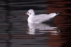 reflection, reflectie_002 (cees van gastel) Tags: ceesvangastel canoneos550d birds vogels meeuwen gulls water refectie reflection nature natuur waterdonkenbreda homemadetelef11