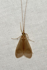 Trichoptera, Leptonema sp. (Caddisfly) - Costa Rica (Nick Dean1) Tags: trichoptera caddisfly insect insecta animalia leptonema hexapoda hexapod arthropoda arthropod costarica guanacaste lakearenal canon canon7d macro