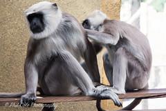 505A7663 (9cole9) Tags: londonzoo zsl gorilla tiger tigercubs goats monkeys melati sumatrantigers lemur silverbackkumbuka giraffe meercats achilles karis silverback jaejae sumatrantiger sumatrantigercub