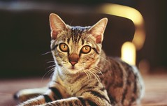 Charllote (5milrosas) Tags: cat cute canon canont5 cuteness canon1200d bokeh lights eyes 50mm cats