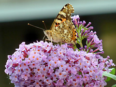 Painted Lady and Buddleia (eric robb niven) Tags: ericrobbniven scotland painted lady buddleia flowers butterfly summerwatch
