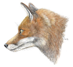 Red Fox (Watercolor) (jeanchristophegueguen) Tags: 2016 guc jeanchristophegueguen naturalist naturaliste nature biodiversit biodiversity illustration aquarelle watercolor couleur color draw drawing paint painting pencil dessin pinceau peinture handbook book lescahiersdelabiodiversit biodiversitevolutiondumondeanimalunebrvehistoiredesanimaux biodiversitetevolutiondumondeanimalunebrvehistoiredesanimaux biodiversityandevolutionoftheanimalworldabriefhistoryofanimals biodiversityevolutionoftheanimalworldabriefhistoryofanimals redfox fox renard renardroux