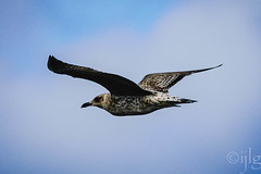 18092016DSC_1045.jpg (Ignacio Javier ( Nacho)) Tags: facebook gaviotas aves pginafotografia flickr faunayflora santander cantabria espaa es