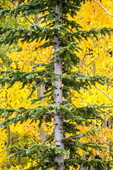Evevergreen and Aspens (photographyguy) Tags: colorado fall autumn evergreen aspens yellow trees mountevansscenicbyway nature treetrunk leaves