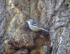 Black & White warbler (Goggla) Tags: nyc new york east village tompkins square park urban wildlife bird black white warbler