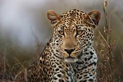 Eye of the Leopard (Xenedis) Tags: africa animal bigcat cat leopard makepisi motswariprivategamereserve mpumalanga rsa republicofsouthafrica safari southafrica timbavati gamedrive timbavatiprivatenaturereserve motswari wildlife ingwe afrika bigfive chui pantherapardus greaterkrugernationalpark fh ig