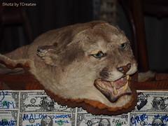 Mountain Lion Preserved (Shotz by TCreates) Tags: arizona usa southwest west america cat feline unitedstates olympus taxidermy sonorandesert mountainlion 2012 apachetrail tortillaflat