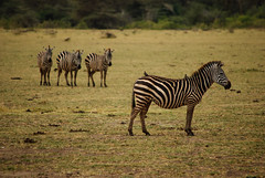 Lake Manyara National Park, Tanzania (GlobeTrotter 2000) Tags: africa park travel lake tourism animals tanzania wildlife lion visit safari ngorongoro national crater zebra giraffe savannah arusha manyara tarangire zebras