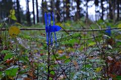 Lockenwickler fr kleine Tannenbume (SchweDan) Tags: forest wald bume baum youngtrees lockenwickler jungebume wildschutz