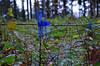Lockenwickler für kleine Tannenbäume (SchweDan) Tags: forest wald bäume baum youngtrees lockenwickler jungebäume wildschutz