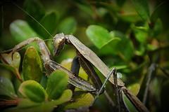 Visiting Mantis (SannePhotos (S. Douthitt)) Tags: november brown cold male wet water rain mantis drops adult praying indiana mature preying mushes sarahdouthitt sannephotos